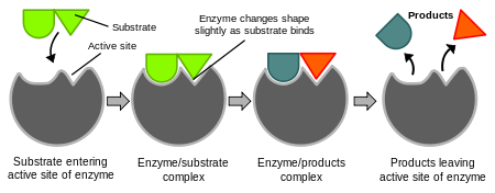 Schematic representation of the enzyme catalysed reaction.