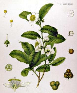 Cammelia sinensis (Wikipedia)